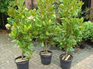 Magnolia grandiflora Francois Treyve