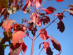 Acer stachyophyllum