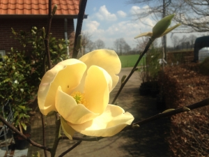 Magnolia Honey Tulip