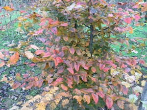 Carpinus betulus Rockhampton Red