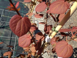 Cercidiphyllum japonicum Strawberry