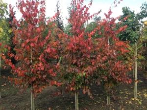Carpinus caroliniana Red Fall