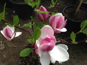 Magnolia Touch of Class