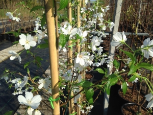 Prunus Royal Flame ®