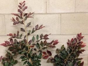 Sycoparrotia x semidecidua Purple Haze