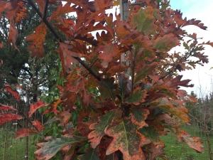 Quercus x sargentii Thomas