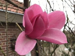 Magnolia Aurora
