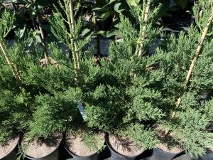 Sequoiadendron giganteum Philip Curtis