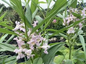 Chitalpa tashkentensis Summer Bells