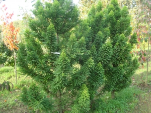 Taxodium distichum Peve Minaret