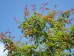 Acer mandschuricum