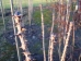 Kalopanax septemlobus maximowiczii