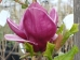 Magnolia Genié