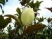 Magnolia grandiflora Galissoniére