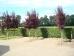 Prunus cerasifera Nigra