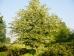 Styrax japonicus var. fargesii