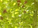 Corylus colurna Te Terra Red