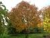 Acer maximowiczianum