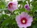 Hibiscus Resi