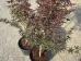 Acer palmatum Starfish