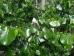 Cercis canadensis Texas White