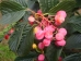 Sorbus alnifolia Red Bird