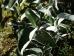Sorbus thibetica Jhon MItchell