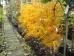 Sorbus wilfordii