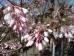 Staphylea holocarpa Rosea
