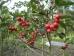 Crataegus succulenta Jubilee