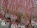 Tilia cordata Winter Orange