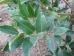 Ilex koehneana Chestnut Leaf