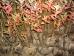 Amelanchier canadensis Glenform