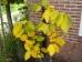 Calycanthus raulstonii Hartlage Wine