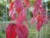 Prunus sargentii Charles Sargent