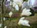 Magnolia kobus Isis ®