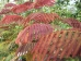 Albizia julibrissin Evi`s Purple