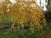 Cercidiphyllum japonicum Amazing Grace