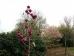 Magnolia Black Tulip ®
