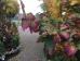 Parrotia persica Felicie