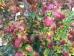 Parrotia persica Persian Spire ®
