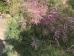 Tamarix ramosissima Pink Cascade