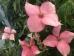 Cornus kousa Rosy Teacups ®