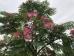Albizia julibrissin Rouge de Tuiliere