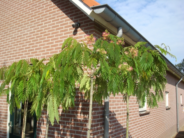 Albizia julibrissin Shidare   Treurvormige bomen   Treurbomen   Boomkwekerij Albert Leemreize